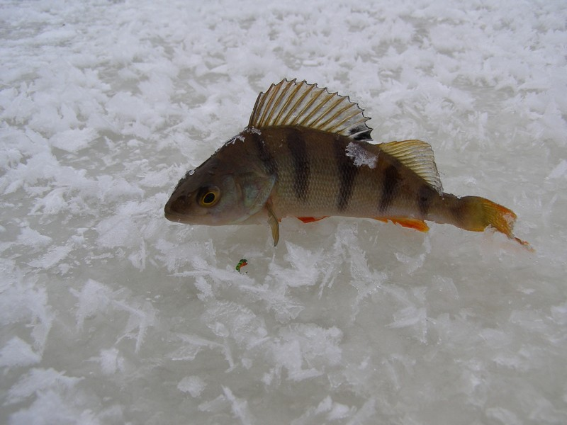 клюет ли рыба после